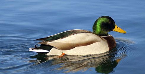 jwn-mallard-duck